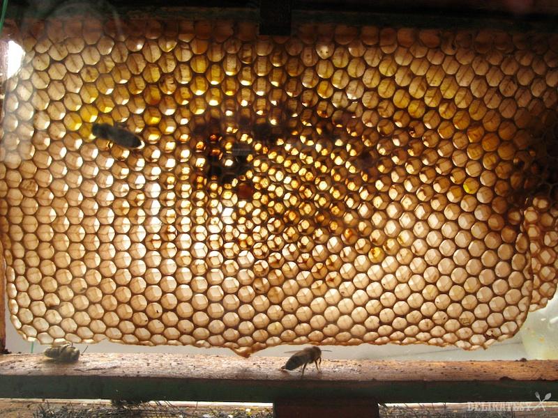 Včelý plást