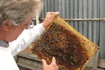 Plást so zakuklenými včelami