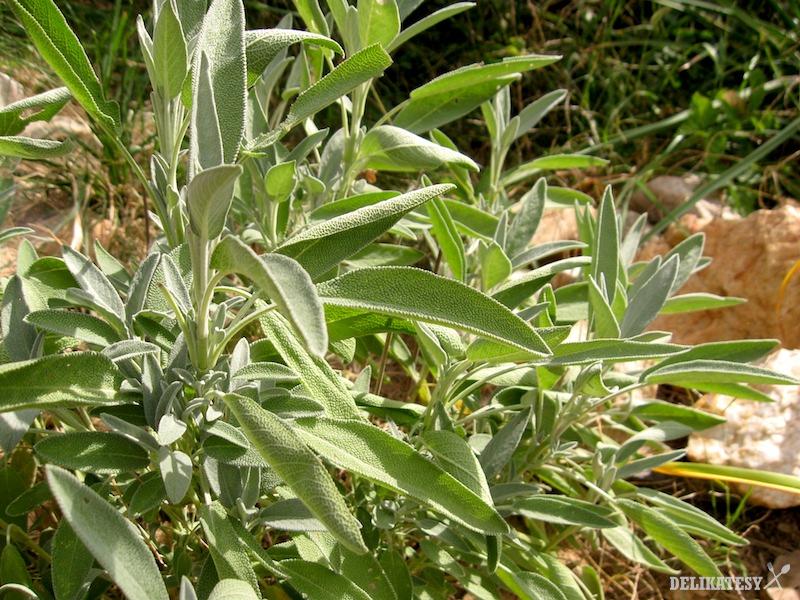 Šalvia slobodne rastúca v záhradke