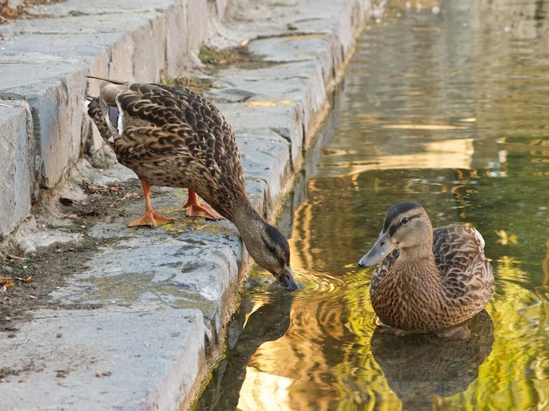 Mladé kačice