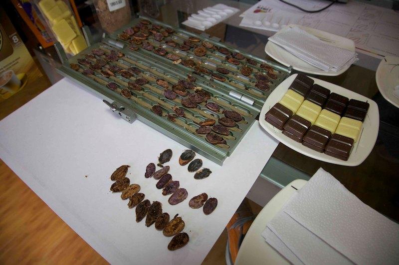 Gilotinou sa prerežú kakaové bôby a sleduje sa ich kvalita