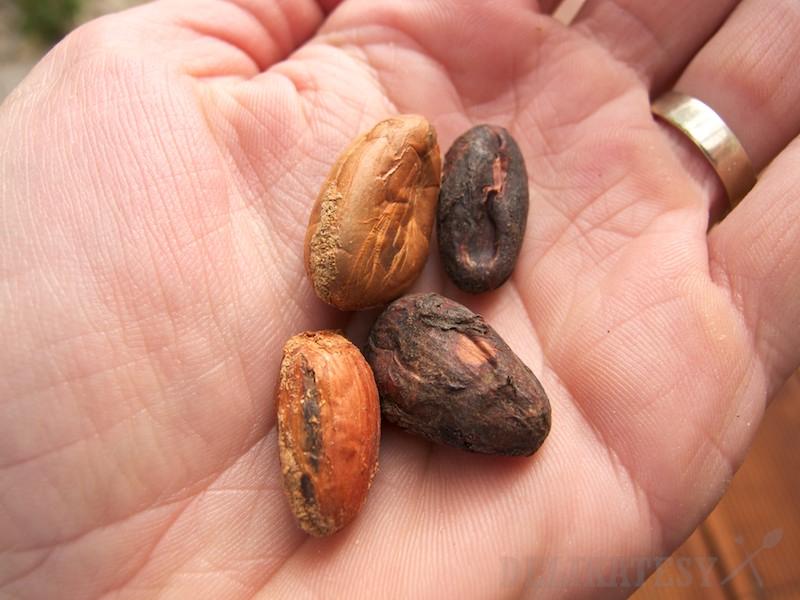 Kakaové bôby, vľavo nefermentované, vpravo fermentované