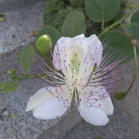 Kapary krásne voňajú, ale kvitnú len pol dňa