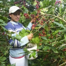 Green Plantation káva - Peru
